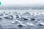 Giant Pod of Dolphins Race Up The California Coast