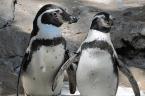 Neuseeland: Zwei Pinguine brechen in Sushi Shop ein und treiben ihr Unwesen
