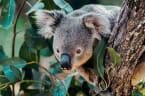 Fünf erstaunliche Fakten über Koalas