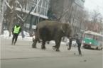 Elephants escape Russian circus
