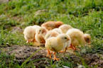 Move Over Toilet Paper, Baby Chicks Becoming Hot Sellers Amid Coronavirus