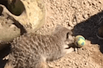 Adorable meerkats take part in Easter egg hunt at London Zoo