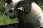 Adorable panda cub splashes around in a tub