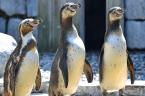 Zu putzig: Drei Zoo-Pinguine machen einen Ausflugs ins Kunstmuseum