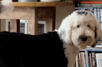 This pooch can communicate by using buttons