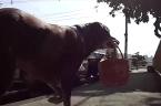 Labrador helps store make deliveries