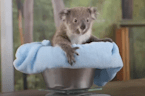 Baby koalas pass their first health check at Sydney Zoo