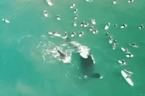 Australian surfers get splashed by humpback whale and her calf