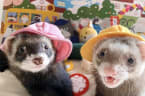 Two ferrets from Japan live happily ever after with their cat siblings