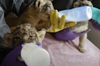 Dallas Zoo welcomes the birth of three lion cubs