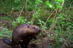 Holnicote beavers build first dam on Exmoor for more than 400 years