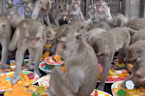 Wild monkeys receive a lavish picnic from Thai officials