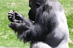 These gorillas and vervet monkeys are eating sushi for lunch