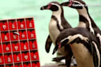 London Zoo penguins enjoy fishy advent calendar