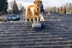 Owner's dog follows him onto the roof