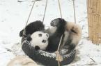 Cuddly giant pandas play in fresh snow