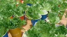 富士通の完全閉鎖型植物工場製レタスを試食。食農クラウド「秋彩」が品質管理