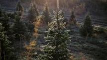 米Amazon、クリスマスツリー用に本物・フルサイズのもみの木を販売へ。プライム会員は送料無料