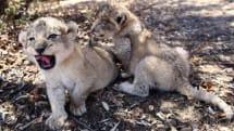 世界初の人工授精ライオンが南アフリカで誕生。雌ライオンを自然の生息地に置いたままで成功