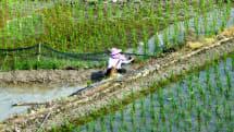 収穫量が2~3割増える稲が新しい遺伝子編集技術で実現。世界の食糧危機を救えるか