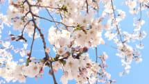古いiPhone 6でもここまで撮れる!スマホ撮影術で桜をキレイに撮ろう