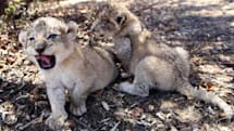Artificial insemination used to breed lions for the first time