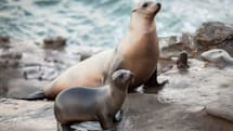 Sea lions are getting sick from toxic algae blooms