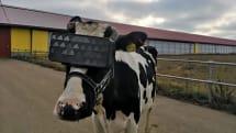 「乳がよく出る牛用VR」ロシア農家らが開発中。牛の目に合わせたゴーグル装着、ストレス減らし搾乳量アップ期待