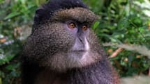 面孔辨識技術或許能幫助保存瀕危物種