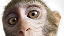 Researchers train monkeys to mind-control a wheelchair
