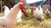 Researchers see evolution working faster than expected (in chickens)