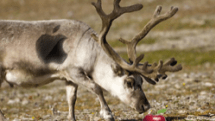 What Apple gear do you buy a reindeer for Christmas?