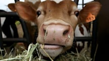 Scientists extract clean water from cow pies