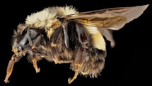 Feds delay endangered bumblebee's protection