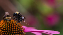 Bees with tiny sensor backpacks could help farmers track crops