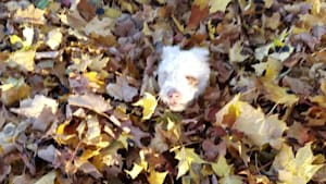 Blind Dog Loves Jumping in Leaves