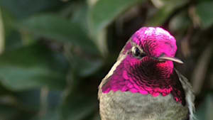 Hummingbird amazingly shows off bright color change illusion