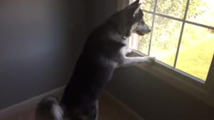 Husky can't contain himself after spotting deer herd outside