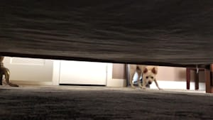 Dog plays hide and seek with owner under bed