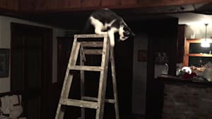 Cat jumps off ladder and destroys television