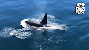 Killer whale peacefully swims with a pod of porpoises