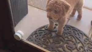 Dog rings doorbell to go inside and outside