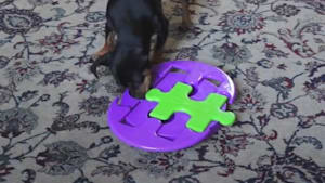 Genius dog solves 10 hard puzzles