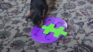 Genius dog solves 10 hard puzzles