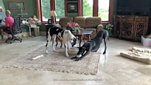 Great Dane swipes toy to keep puppy from howling