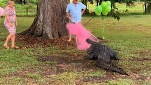 Couple uses pet alligator to reveal the gender of their new baby