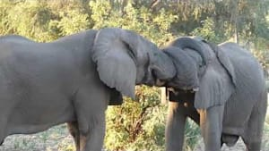 Two elephants hug each other with trunks