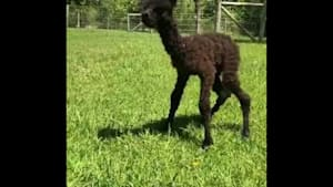 Newborn alpaca takes her first steps outdoors