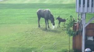Mother moose & baby bathing in backyard sprinkler