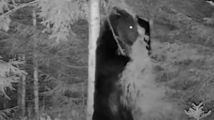 Bear caught on camera doing hilarious back-scratching dance